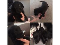 3 Quarter Labrador Puppies For Sale! £250 Only Girls Left!