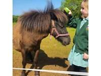 Loan of Shetland ponies