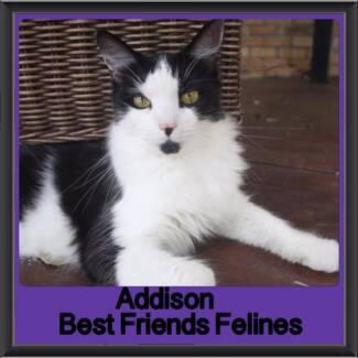 Addison - Best Friends Felines