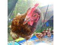Ex commercial rescued egg laying hens / chickens