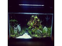 Portions of Glosso (Aquarium live carpet plant)
