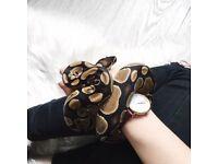 Female Royal/Ball Python Snake