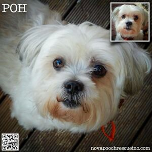 Poh - Small Male Shih Tzu Mix Metford Maitland Area Preview