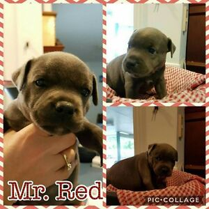 """Staffordshire Bullterrier """"English Staffies"""" Puppies for sale Aroona Caloundra Area Preview"""