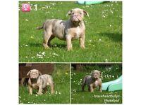 Olde English Bulldog Pups