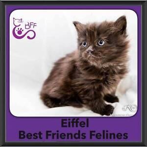 Eiffel - Best Friends Felines Shailer Park Logan Area Preview