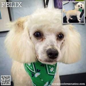 Felix - Small Male Toy Poodle Mix North Arm Cove Great Lakes Area Preview