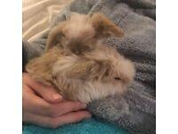 Lionhead lop bunnies for sale