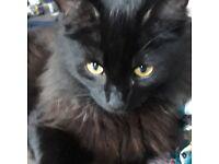 STILL MISSING: Black Long Haired Male Cat REWARD FOR RETURN/KEEPING SAFE
