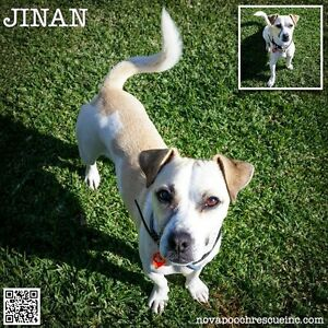 Jinan - Small Male Pug Mix Wilberforce Hawkesbury Area Preview