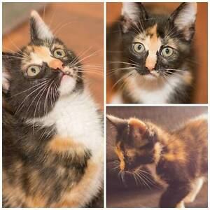 AK1614 : Arwen - KITTEN FOR ADOPTION - Expressions Of Interest Merriwa Wanneroo Area Preview