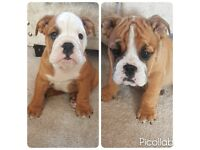 KC Bulldog Puppies For Sale