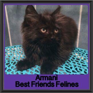 Armani - Best Friends Felines