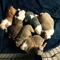 Pick puppy for sale ( olde English registered bulldogge $