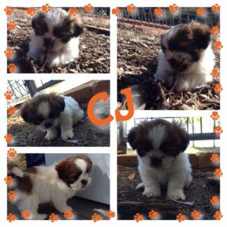 Puppies Kooralbyn Ipswich South Preview