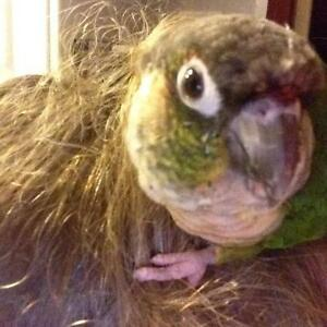 Still missing LOST Green cheek conure East Maitland Maitland Area Preview