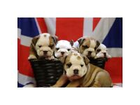*3 LEFT* READY TO LEAVE IN 14 DAYS!! STUNNING BRITSH BULLDOG KC REGISTERED PUPS!!