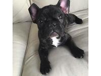 Beautiful French bulldog girl for sale