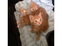 Lovely Ginger Kittens