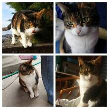 *PEPPER CAT-MISSING FROM MONTROSE* Montrose Glenorchy Area Preview