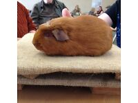 Well handled rescue guinea pigs available to loving homes