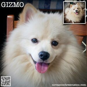 Gizmo - Small Male German Spitz Mix Metford Maitland Area Preview