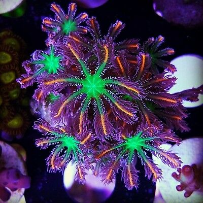 BUDMAN'S CORALS ~ TSA Firework Cloves(5 cloves per frag) ~ Live Coral LPS SPS