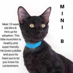 A Mini Rescue - Adopt a cat today! Brisbane City Brisbane North West Preview