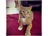 Gorgeous female ginger cat for sale