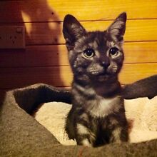 Desexed Rescue kittens for adoption South Windsor Hawkesbury Area Preview