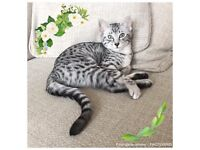 Pedigree Egyptian Mau kitten