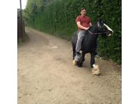 very quiet 12,2h black cob stallion