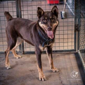 URGENT ADOPTION by 3pm 2 September 2015 Kelpie Male 12 months Austral Liverpool Area Preview