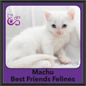 Machu - Best Friends Felines Shailer Park Logan Area Preview