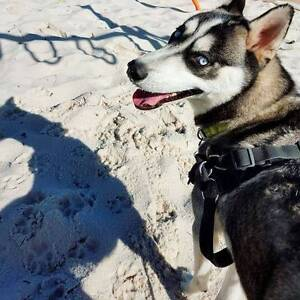 11 Month Old Purebred Husky for sale and rehoming. Ellenbrook Swan Area Preview