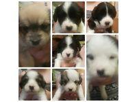 Bichon x jack russel puppies