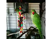 RÖSE RINGED TALKING PARRÖTS YOUNG CAGE DELIVERY BIRDS N0T COCKATIELS