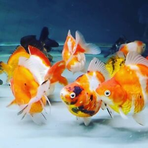 Goldfish in Scarborough - 585 Middlefield Rd - Proaquatic