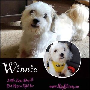 Maltese Terrier for adoption Redbank Plains Ipswich City Preview