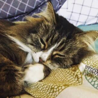 Dayanara - 2yo Maine Coon x rescue cat Penrith Penrith Area Preview