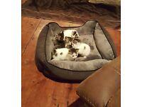 Ragdoll Cross, Gorgeous Kittens. (Mother Cross Ragdoll, Father Full pedigree Ragdoll)