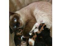 Half Colourpoint Persian Kittens