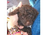 Beautiful Chocolate Cockapoo Puppies PRA TESTED Genetically clear