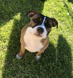 English Staffy Clarkson Wanneroo Area Preview