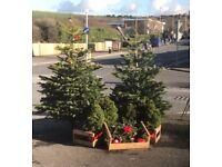 Beautiful Norwegian Real Christmas Trees - Pack of Cards, Brighton