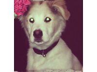 Husky Female Pup