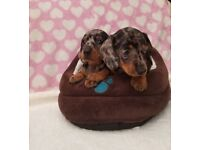 Silver Dapple Mini Dachshund Puppies