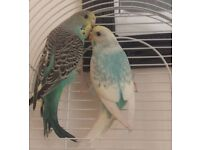 2 Budgies, Budgie cage, toys and some food