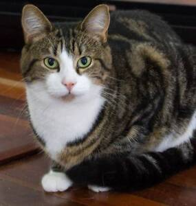 AK0804 : Mop - CAT for ADOPTION - Vet work included Caversham Swan Area Preview