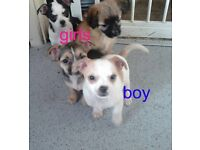 4 chihuahau puppies looking for there forever loving home